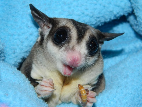 Funny-Expression-Sugar-Glider-HD-Wallpaper