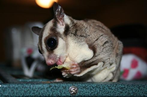 Kurzkopfgleitbeutler-Sugar-Glider-als-Haustiere-Lostin-Texas