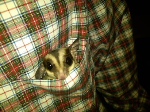 sugar-Glider-pocket