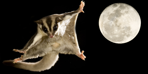 Sugar Glider voplaning- 047950 w moon