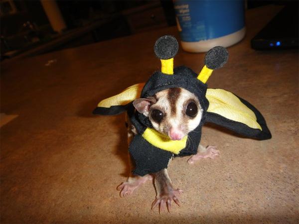 sugar_glider_bee_costume